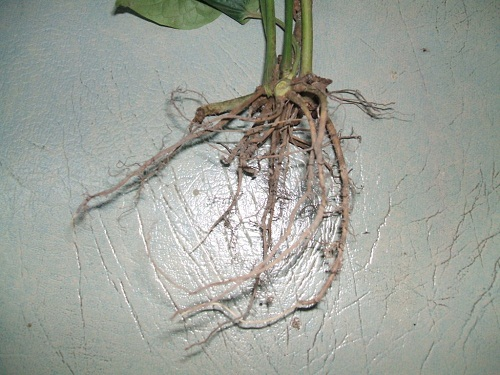 cách chữa sâu răng bằng rễ lá lốt 14